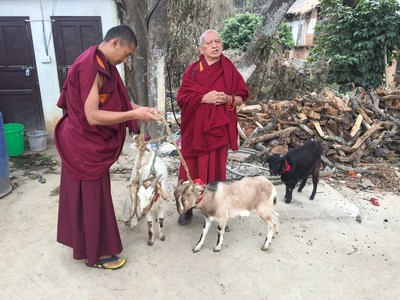 Lama Zopa Rinpoche blesses rescued goats, Maratika, Nepal, February 2016. Photo: Roger Kunsang.