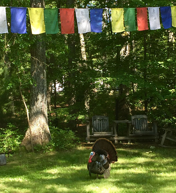 Turkey in the yard at LYWA June 2016. Photo: Wendy Cook.